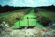 <p>Photo 1. Irrigation canal choked with water lettuce, <EM>Pistia stratiotes.</EM></p>