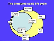 <P>Diagram. Life-cycle of an armoured  scale.</P>