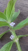 <p>Photo 4. Winged stem (and flowers) of winged false buttonweed, <EM>Spermacoce latifolia</EM>.</p>