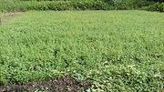 <p>Photo 1. Field of winged false buttonweed, <EM>Spermacoce latifolia </EM>(Palau).</p>
