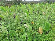 <p>Photo 3. Winged false buttonweed, <EM>Spermacoce latifolia</EM>, among taro (Fiji).</p>