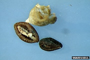<p>Photos 7. Seeds, winged false buttonweed, <EM>Spermacoce latifolia</EM>. Note, the deep cavity on one side of the seed (labelled by USDA APHIS PPQ as <EM>Spermacoce alata</EM>).</p>