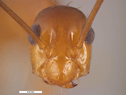 <p>Photo 3. Front of head of worker, yellow crazy ant, <EM>Anoplolepis gracilipes.</EM></p>