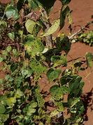 <p>Photo 1. Leaf spots caused by <EM>Guignardia dioscoreae </EM>on mature leaves of <EM>Dioscorea esculenta.</EM></p>