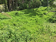 <p>Photo 3. Wedelia, <EM>Sphagneticola trilobata</EM>, side of the road, south coast, Viti Levu, Fiji.&nbsp;</p>