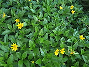 <p>Photo 5. Leaves and flowers of wedelia, <EM>Sphagneticola trilobata. </EM></p>