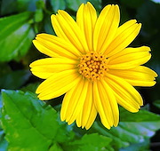 <p>Photo 7. Close-up, flowerhead, wedelia, <EM>Sphagneticola trilobata. </EM>Note, there are two groups of flowers; the outer ones have yellow petal-like leaves. Those at the centre do not.</p>